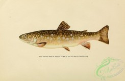 trouts-00171 - BROOK TROUT, 4