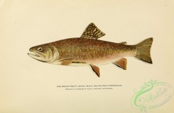 trouts-00172 - BROOK TROUT, 5