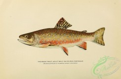 trouts-00173 - BROOK TROUT, 6