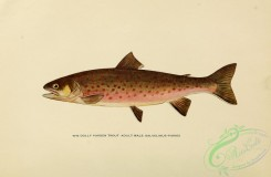 trouts-00176 - DOLLY VARDEN TROUT