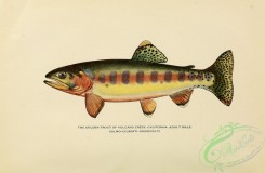 trouts-00178 - GOLDEN TROUT OF VOLCANO CREEK