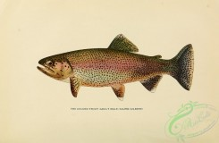 trouts-00179 - GOLDEN TROUT