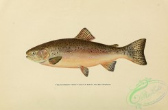 trouts-00181 - RAINBOW TROUT