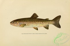 trouts-00184 - STEELHEAD TROUT
