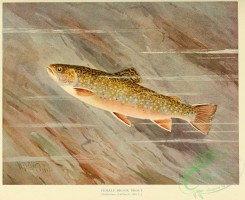 trouts-00188 - BROOK TROUT