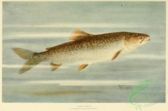 trouts-00189 - LAKE TROUT