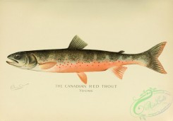 trouts-00193 - Canadian Red Trout, 2