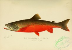 trouts-00194 - Canadian Red Trout