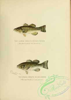 trouts-00195 - Large-mouth Black Bass, micropterus salmoides, Small-mouth Black Bass, micropterus dolomieu