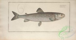 trouts-00208 - Atlantic Salmon
