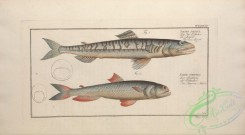 trouts-00230 - Sea Lizard, salmo saurus