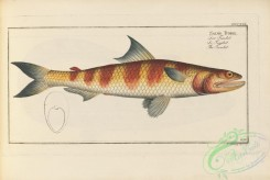 trouts-00239 - Greater Lizardfish, salmo tumbil