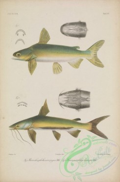 trouts-00248 - 063-Beardless Sea Catfish, batrachocephalus micropogon, Salmon Catfish, hexanematichthys leptaspis