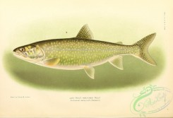 trouts-00250 - Lake Trout, Mackinaw Trout, cristivomer namaycush