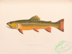 trouts-00258 - 007-Brook Trout, salvelinus fontinalis