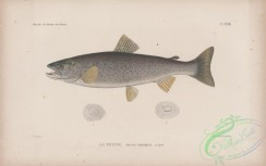 trouts-00267 - 018-Sea Trout, trutta variabilis