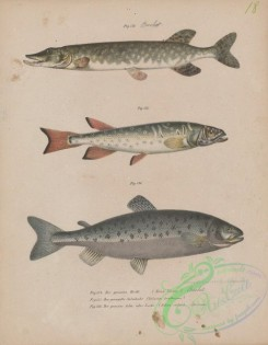 trouts-00268 - 005-Northern Pike, esox lucius, Spotted Mountain Trout, galaxias truttaceus, Atlantic Salmon, salmo salar