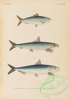 trouts-00273 - 124-clupea kowal, clupea micropus, South American Pilchard, clupea melanosticta