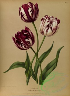 tulips-00011 - Late Tulips bybloemen or violets [5332x7283]
