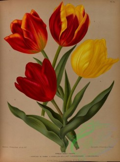 tulips-00017 - Single Early Tulips, 4 [5405x7273]