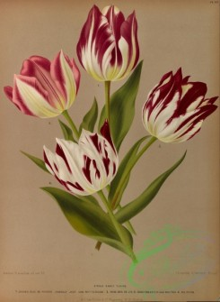 tulips-00018 - Single Early Tulips, 5 [5256x7175]