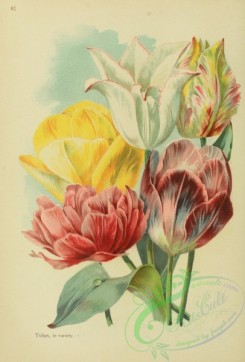 tulips-00042 - Tulips in variety [1940x2862]