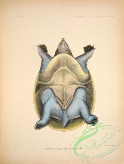 turtles-00020 - trionyx peguensis, 2