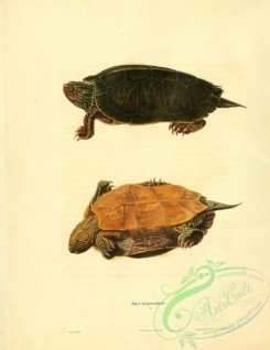 turtles-00025 - emys megacephala