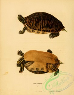 turtles-00035 - emys floridana