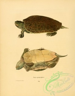 turtles-00036 - emys geographica