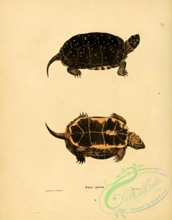 turtles-00037 - emys guttata