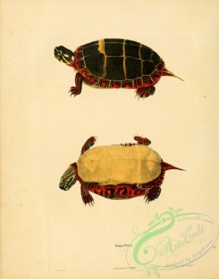 turtles-00043 - emys picta