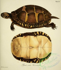 turtles-00067 - testudo picta