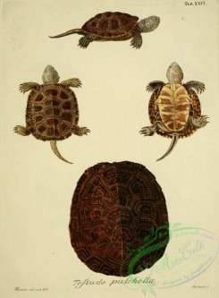 turtles-00069 - testudo pulchella