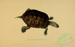 turtles-00103 - emys concentrica, 2