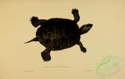 turtles-00104 - emys concentrica, 4
