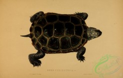 turtles-00105 - emys concentrica