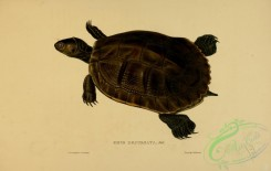 turtles-00106 - emys decussata
