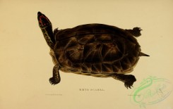 turtles-00111 - emys scabra