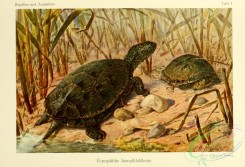 turtles-00133 - emys oribcularis