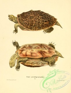 turtles-00135 - emys pseudogeographica