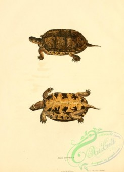 turtles-00138 - emys insculpta