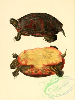 turtles-00145 - emys rubriventris