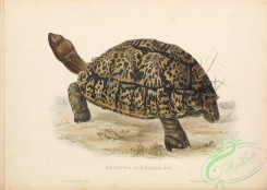 turtles-00165 - 002-testudo pardalis