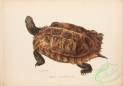 turtles-00167 - 006-emys spinosa