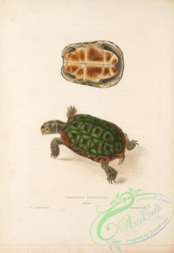turtles-00172 - 013-testudo areolata