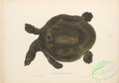 turtles-00177 - 019-trionyx labiatus