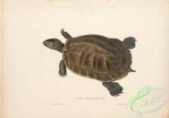 turtles-00182 - 030-emys decussata