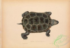 turtles-00185 - 035-emys concentrica