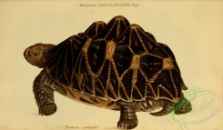 turtles-00201 - testudo actinodes